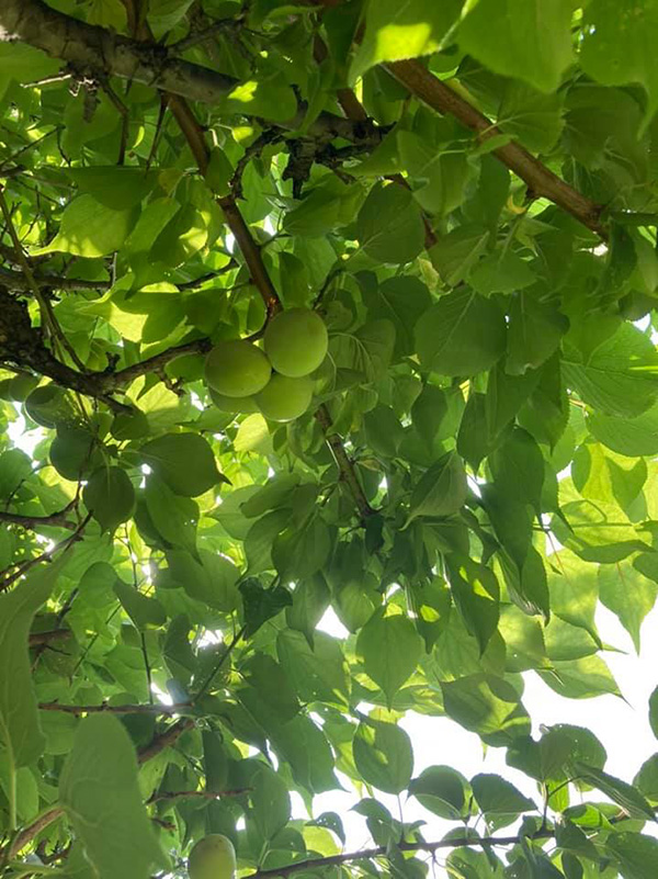 中庭の梅を収穫